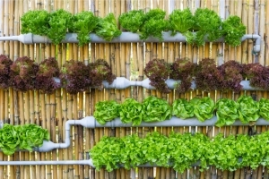 Vertical vegetable garden on bamboo wall