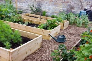 Vegetables planted in raised garden beds