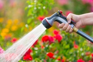 Watering rose garden with hose spray