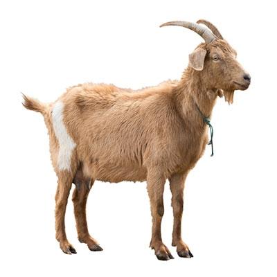 Goat / Sheep Supplies