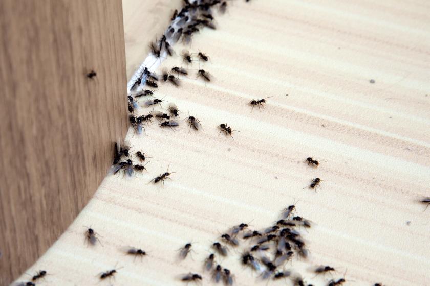 Ants crawling under door crack