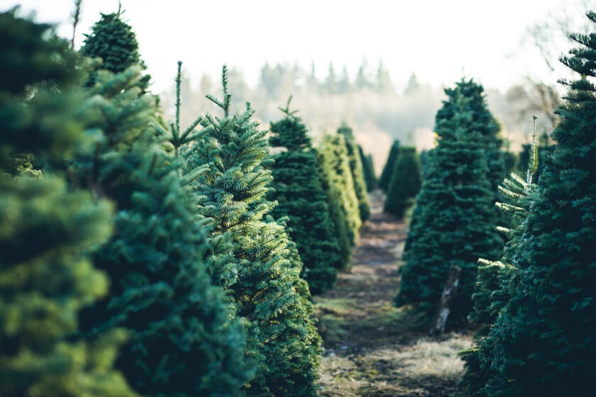 Healthy Christmas tree farm
