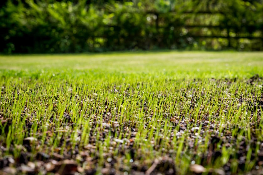 Grass seed growing in lawn