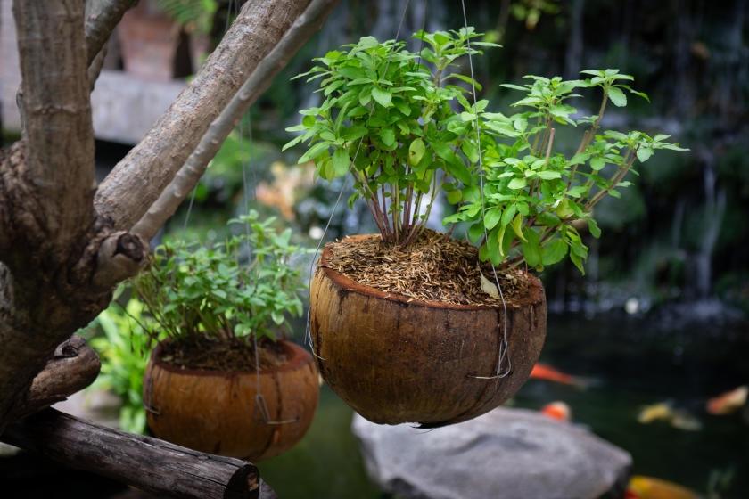 Basil growing in hanging coconuts as DIY planters