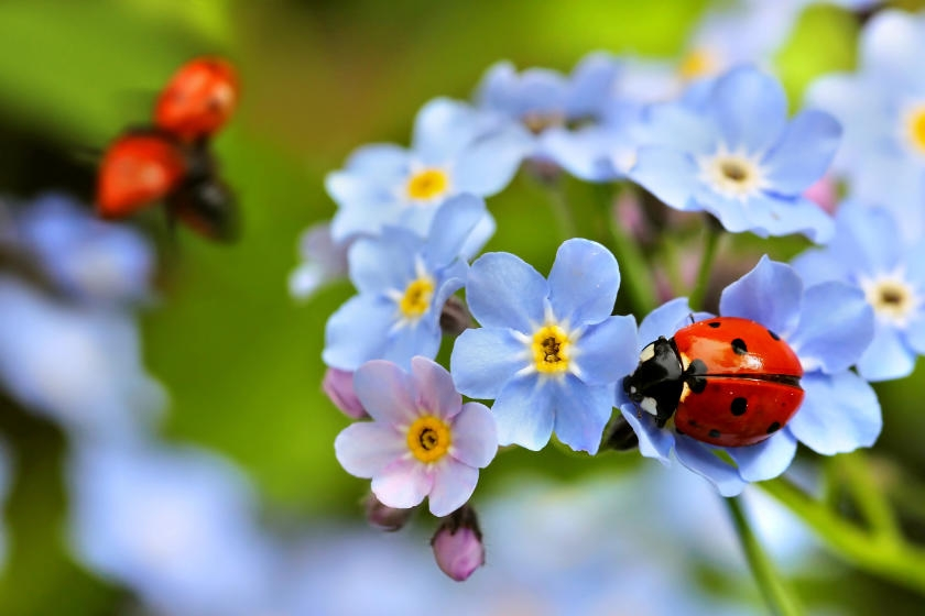 Ladybugs in garden of Forget-Me-Not flowers
