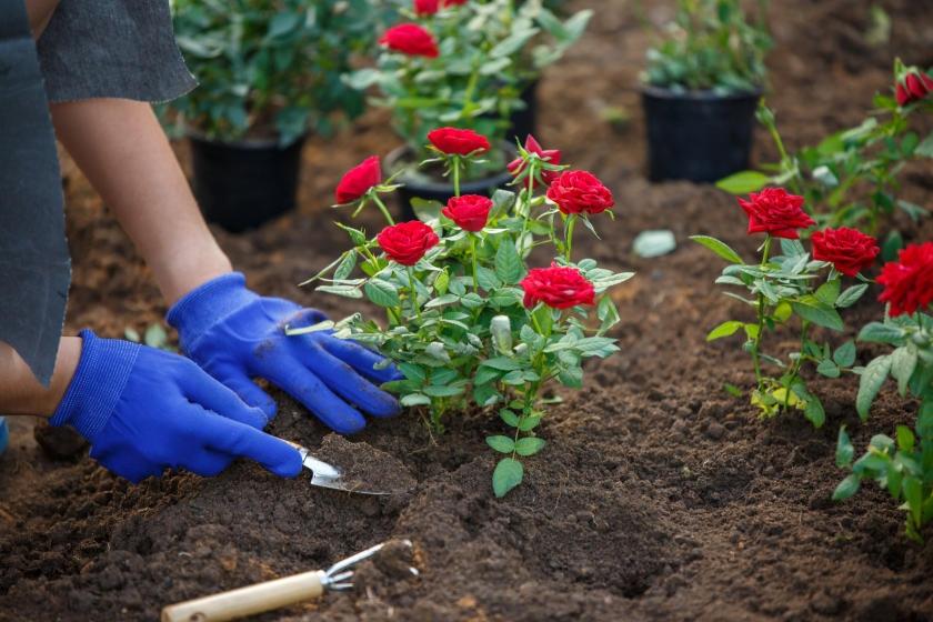 Planting new rose garden