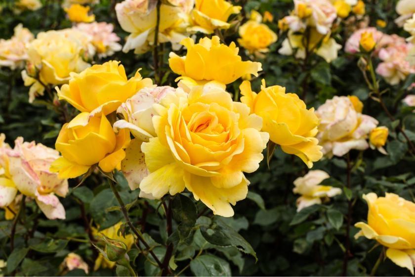 Yellow hybrid tea roses