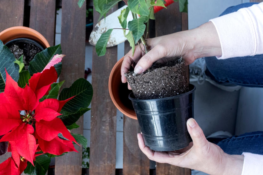 Repotting poinsettias on deck