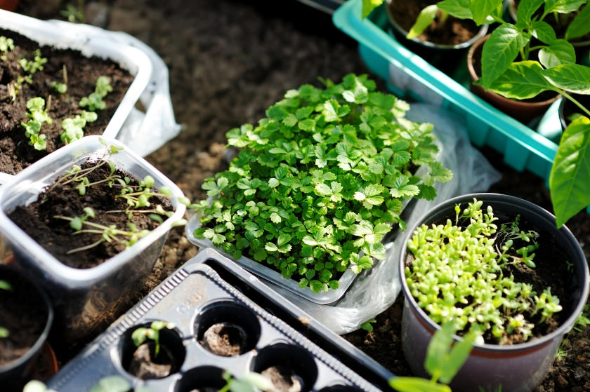 Seedlings sprouting in plastic potting containers