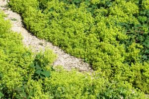 Learn how to grow herb ground cover